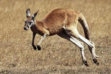 A mai kenguruk hárommillió évvel ezelőtt egy gyors evolúciós ugrással fejlődtek ki