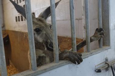 Letartóztattak egy kengurut a rendőrök Floridában, mert ugrándozni merészelt az utcán - VIDEÓ