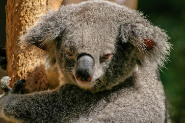 Több mint 60 ezer koalát sújtottak a múlt nyáron Ausztráliában pusztító bozóttűzek