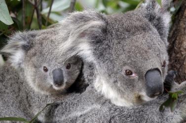 Koalák százait mészárolhatták le Ausztráliában
