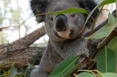 Keresőkutya segíti a bozóttüzeket túlélő koalák felkutatását Ausztráliában