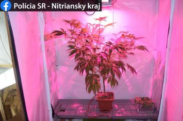 Egy dunamocsi pincében jó táptalajra talált a marihuána, a szagára a zsaruk is odagyűltek