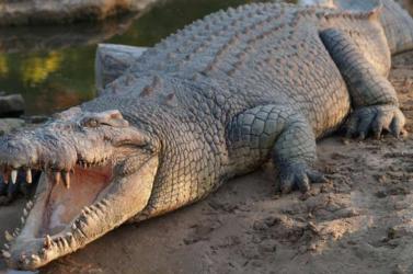 Krokodiloktól hemzsegő folyóból próbálnak kiterelni egy eltévedt bálnát