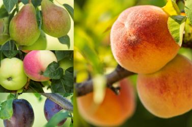 A nyár igazi kincsei a csallóközi gyümölcsök!