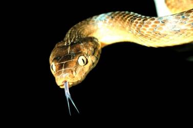 A világ egyik legpusztítóbb betolakodója lett ez a kígyófaj