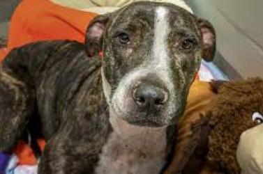 ÁLLATKÍNZÁS: Vasúti sínekhez kötözték, majd kétszer meglőtték a tehetetlen kutyát, de az állat győzött!
