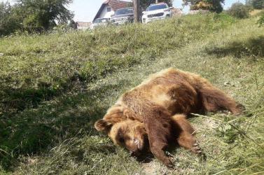 Valaki lelőtt egy kukázó medvét, egy másikat valószínűleg megmérgeztek