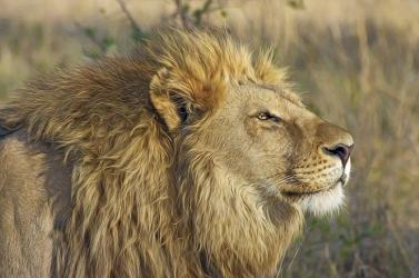 Megtiltanák az oroszlánok tenyésztését vadászat és kölyöksimogatás céljára Dél-Afrikában