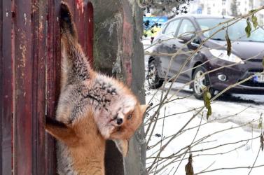 Tyúkot akart lopni a róka, fennakadt a kerítésen – FOTÓK