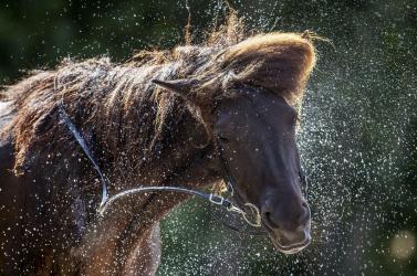 Egy zabos ló vágtat Somorjától nem messze, sehol egy ember körülötte