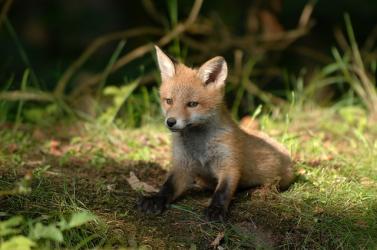 Beleszorult a fiatal róka lába a rókacsapdába - napokon keresztül szenvedett, belehalt súlyos sérülésébe
