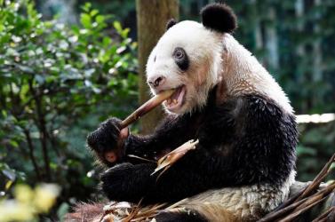 Elpusztult a világ legidősebb, fogságban tartott óriáspandája