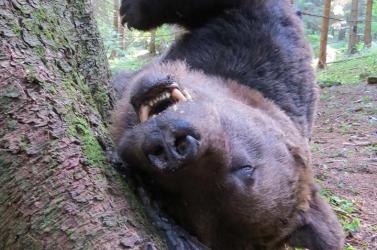 Annyi a medvetámadás Erdélyben, hogy erről panaszkodtak az Európai Parlamentben