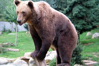 Medve támadt egy turistára, egyetlen dolog mentette meg az életét