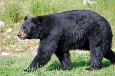 Szörnyű: Fekete medve ölt meg egy nőt