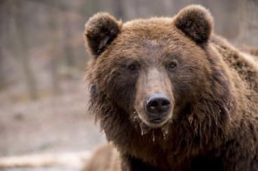 Hogyan élhetünk túl egy medvetámadást? – PODCAST