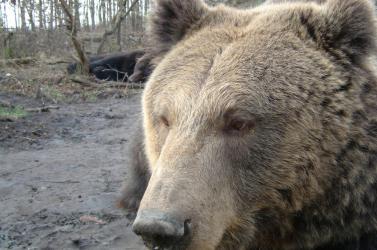 Kiderült, miért halt ki a barlangi medve