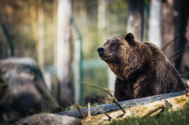 A barlangi medve kihalása az ember számlájára is írható