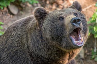 BRUTÁL: Medve marcangolta szét egy vadász lábát