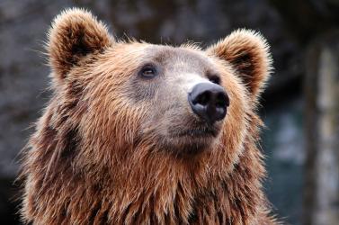 Holtan találtak egy férfit az erdőben, a jelek szerint medve végzett vele