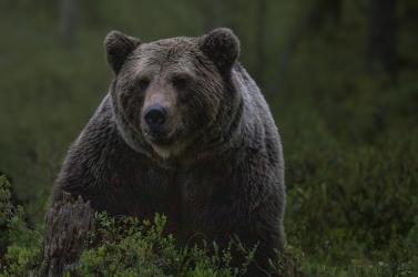 Szelfizni akart egy medvével az idős férfi a Tátrában – rossz vége lett