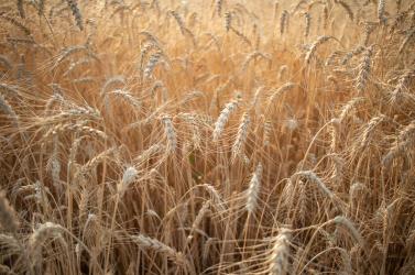 KORONAVÍRUS: Kihathat a válság a csallóközi mezőgazdaságra?