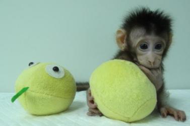 Mérföldkő: Először klónoztak majmokat!