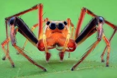 Borostyán őrizte meg a 99 millió évvel ezelőtt élő és utódait óvó pókot (FOTÓ)