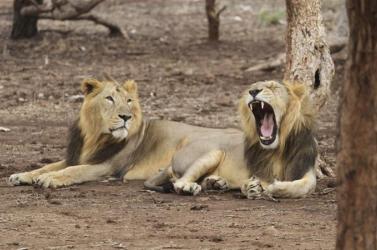 Oroszlán támadt gondozónőjére egy állatkertben