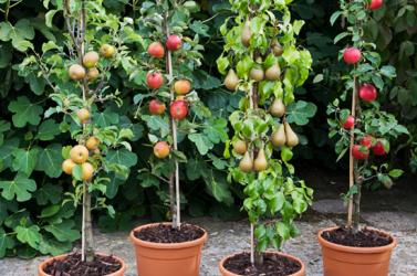 Hogyan válasszunk gyümölcsfát?