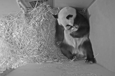 Bemutatták az első képeket a két heteHollandiában született óriáspandáról