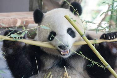 Az óriáspandák fajmegőrzésére tett erőfeszítések nem segítik más állatok védelmét