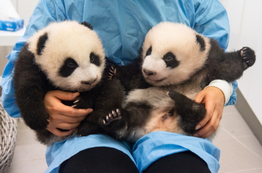 Nevet kaptak a belgiumi állatpark óriáspanda-ikrei