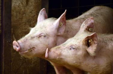 Hízósertéseket loptak el egy olgyai farmról