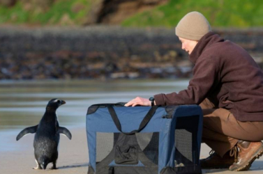 Visszaküldték a vadonba az Ausztráliáig eljutott új-zélandi pingvint