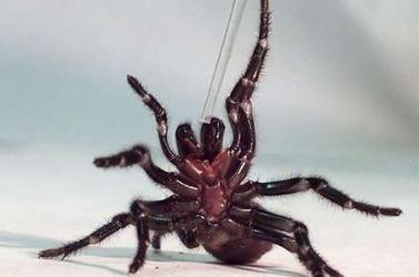 Halálos mérgű pókokat gyűjtenek
