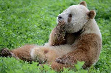 Örökbe fogadták a világ egyetlen, fogságban élő barna óriáspandáját