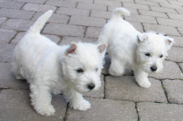 Mikrochipekkel kell ellátni kutyáinkat
