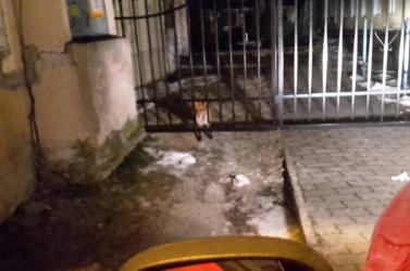 Rókák kóborognak Komárom belvárosában