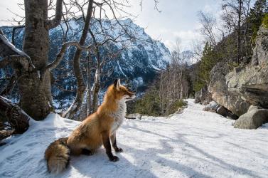 Jégtömbbe fagyott egy róka a Dunán – FOTÓ