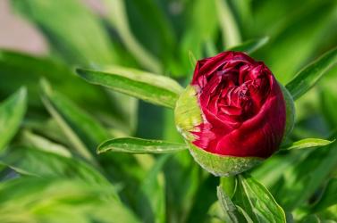 Közelebb áll a rózsa az eperhez, mint gondolnánk