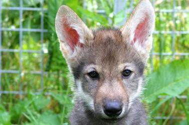 A kutyák labdajátékhoz szükséges képessége a farkasokban is létezik – VIDEÓ