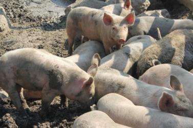 A földművelésügyi minisztérium jövő héttől kárpótolja a sertéstenyésztőket