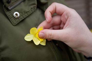 Csütörtökön lenne a nárciszok napja, a járvány miatt őszre halasztják az akciót
