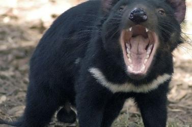 A tasmán ördög anyatejével fel lehet venni a harcot a halálos szuperbaktériumok ellen