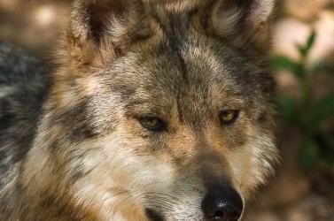 DNS-elemzéssel dokumentálták a farkasvadászat 200 éves történelmét