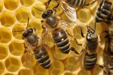 Méhekkel akarják elriasztani a termőföldekről az elefántokat