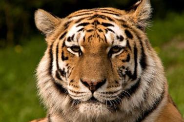 Betegség tizedeli a szibériai tigriseket