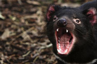 Kipusztulás szélén áll a tasmán ördög