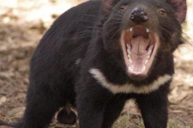 Gyógyíthatóak a tasmán ördögök?